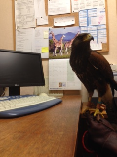 Danson - The Harris Hawk - owned by Gem visited the office recently
